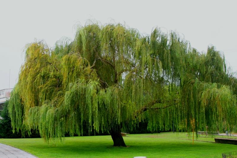 Sauce llorón, árbol sagrado celta | Luz Arcoiris