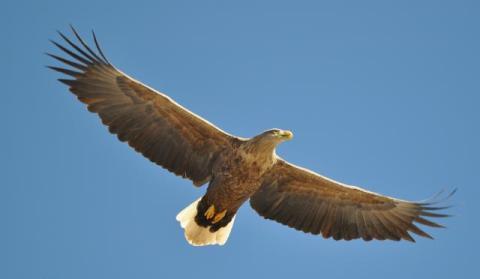 sea eagle4