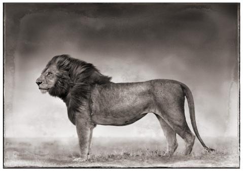 lion_1000_10