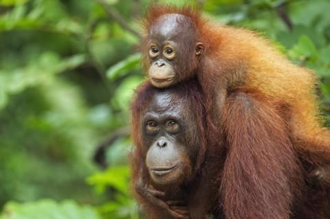 Orangutan_640