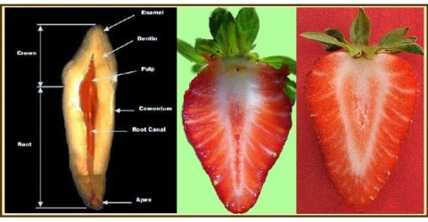 Las Fresas, en su corte transversal, similar a los diente
