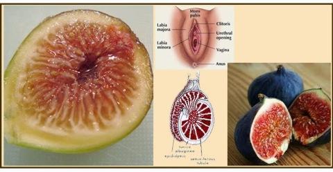 el higo tiene la forma de la vagina